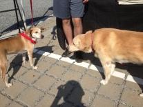 Julia's doggie, Brandy, with Dali at Ella's Run